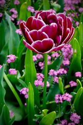Bright magenta tulip whose petals are edged in white.   It is surrounded by little pink flowers.