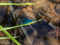 Bright metallic blue dragonfly. Adult male of Beautiful demoiselle (Calopteryx virgo) sitting on the grass leaf above the river water