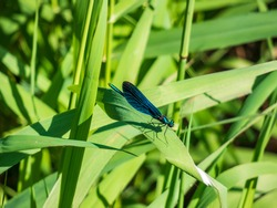 Bright metallic blue dragonfly. Adult male of Beautiful demoiselle (Calopteryx virgo) sitting on the grass leaves