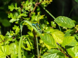 Bright metallic dragonflies. Mature adults of azure damselfly (Coenagrion puella) mating on the grass leaf surrounded with green vegetation. Female green form