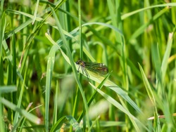 Bright metallic green dragonfly. Adult female of Banded demoiselle (Calopteryx splendens) sitting on the grass leaf surrounded with green vegetation