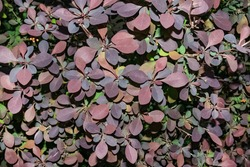 Bright multicoloured Berberis thunbergii leaves in shadow. Dark purple hues