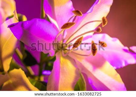 Bright natural background with a Lily flower. Lily flower close-up. Flower in neon lighting. Garden flowers. Bulbous plant. Decorative flowering plants.