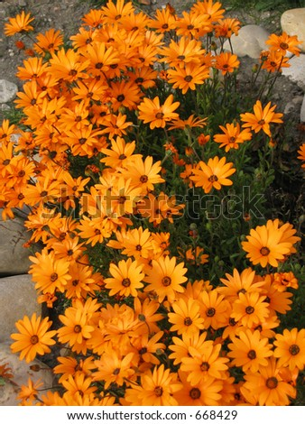 Bright orange African Daisies