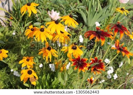 Bright orange and yellow flowers of coneflower (Rudbeckia hirta) in garden