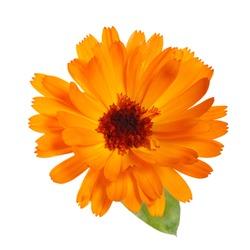 Bright orange calendula flower Isolated on a white background.