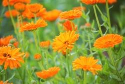 Bright orange calendula flowers (Calendula officinalis, pot marigold, ruddles). Natural floral background