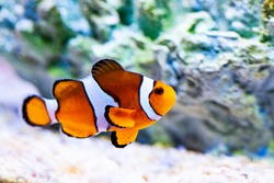 Bright orange clown fish in aquarium