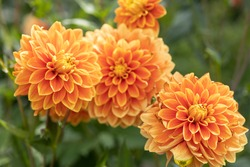 Bright orange dahlia's blooming in the dutch flower garden in summer, close up and macro