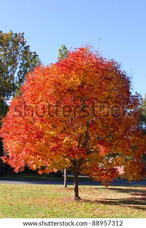 Bright orange leaves on fall tree
