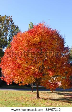 Bright orange leaves on fall tree