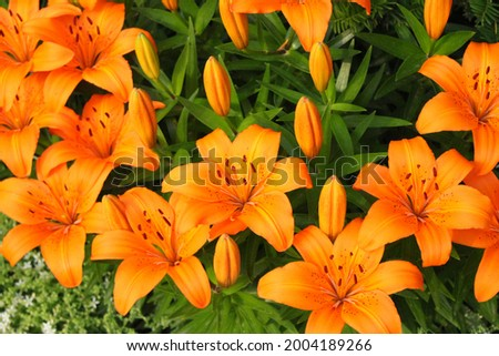 Bright orange lily flowers. Orange lily flower in full bloom. Charming lily flowers with long stamens. Stock photo ©