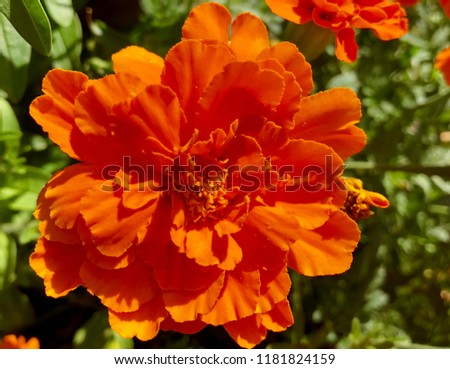 Bright Orange Marigolds blooming in the summer sun. Marigolds are easy to grow annuals that are perfect for growing in containers. #1181824159