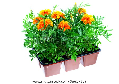 bright orange marigolds in plastic pots on a white background - stock photo