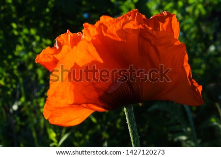 Bright orange poppy flower on blue background. Beautiful summer illustration. Street flower