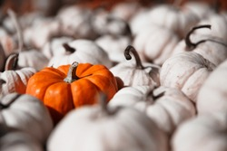 bright orange pumpkin among white pumpkins. standing out of the crowd. selective focus. Blurred background