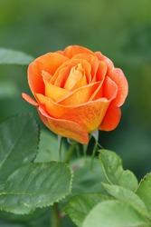 Bright orange rose in the garden