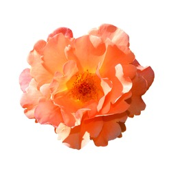 Bright orange rose isolated on white background. Fully open gentle pink rose flower head isolated on white background. Tender pink rose head close up. Top view