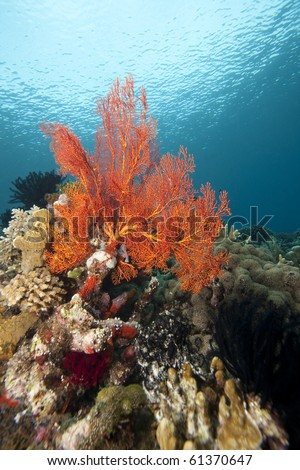 Bright orange sea fan on a tropical coral reef off Bunaken Island in North Sulawesi, Indonesia.