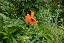 Bright Orange Summer Flowering Oriental Poppy Flowers (Papaver orientale) with a Green Foliage Background Growing in a Country Cottage Garden in Rural Devon, England, UK