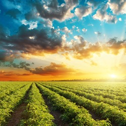 bright orange sunset and green agricultural field with tomatoes bushes