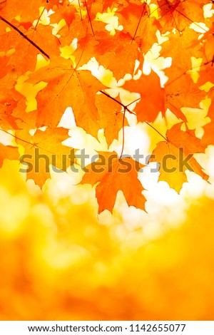Bright Orange Yellow Maple Leaf Background With Copy Space #1142655077