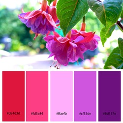 Bright Pink and Purple Designer Pack Color Palette inspired by nature. Macro close up of large hybrid fuchsia flowers. Designer pack with photograph and swatches with hex codes references.