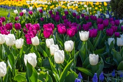 Bright pink and white tulips outdoor. Beautiful spring landscape with tulip blossom on a flower bed. Bright pink magenta, tulip plantation