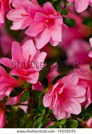 Bright pink azalea blossoms