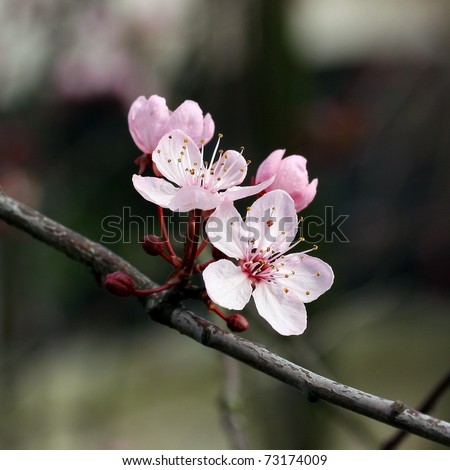 Bright pink cherry blossoms growing on a tree