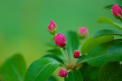 Bright pink crabapple tree blossom buds ready to bloom in spring
