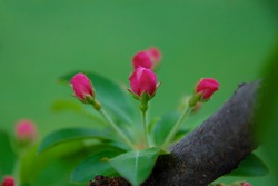 Bright pink crabapple tree buds ready to bloom in spring