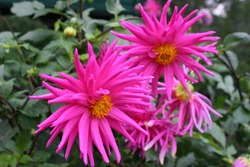 Bright pink dahlia flowers in garden
