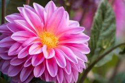 Bright pink dahlia in the garden, macro