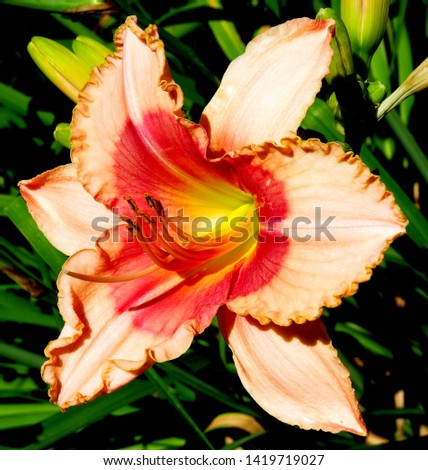 Bright pink Daylilly in the summer sun.