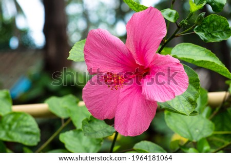 Bright pink flower of hibiscus (Hibiscus rosa sinensis) on green background. Karkade native to tropical regions. Hawaiian wild pink Hibiscus Plant. Hibiscus comprising several hundred species.