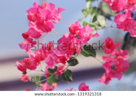 Bright pink flowers of a bougainvillea vine blooming brightly against the blue sky shining through the greenhouse windows. #1319321318