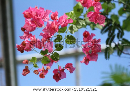 Bright pink flowers of a bougainvillea vine blooming brightly against the blue sky shining through the greenhouse windows. #1319321321
