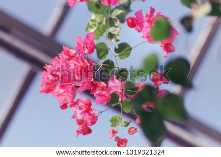 Bright pink flowers of a bougainvillea vine blooming brightly against the blue sky shining through the greenhouse windows. #1319321324