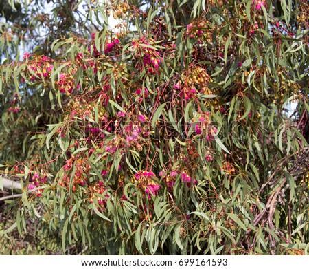 Free photos australian gum nut flower on tree avopix bright pink flowers of australian eucalyptus leucoxylon rosea yellow gum blue gum or white mightylinksfo
