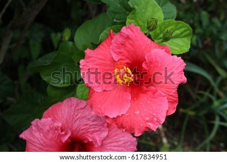 bright pink hibiscus #617834951