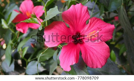 Bright pink large flower of purple hibiscus (Hibiscus rose sinensis) on green leaves natural background. Karkade tropical garden. Hibiscus hawaiian plant growth in rainforest jungle foliage & sunlight
