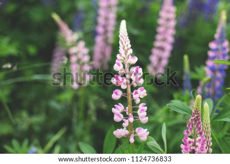 Bright pink Lupinus, commonly known as lupin or lupine is in the meadow. Flower field background.