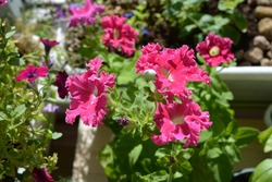 Bright pink petunia flowers with frilly edges. Balcony gardening