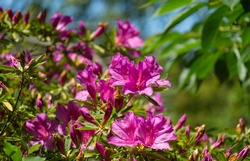 Bright pink Rhododendron Azalea close-up. Luxury colorful inflorescences of rhododendron in spring Arboretum Park Southern Cultures in Sirius (Adler). Nature wallpaper, copy space