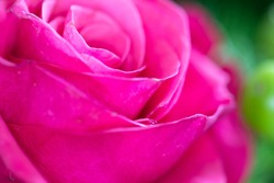 Bright pink rose close-up background. Fresh rose flower in a bouquet