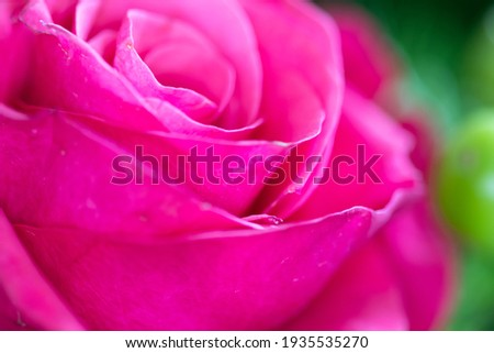 Bright pink rose close-up background. Fresh rose flower in a bouquet Stock photo ©
