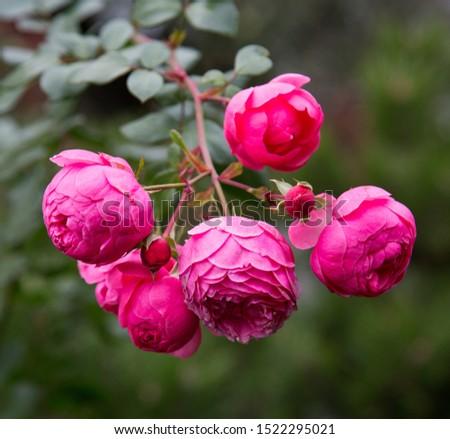 Bright pink sansibar rose flowers on green leaves background. Flora, botany, floristry. #1522295021