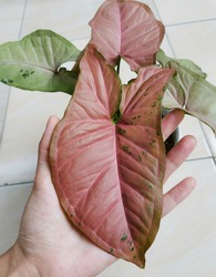 Bright pink Syngonium (a genus of flowering plants in the family Araceae, also known as arrowhead plant, arrowhead vine, arrowhead philodendron, goosefoot, African evergreen, American evergreen)