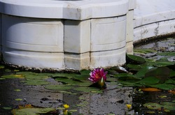 Bright pink waterlily in a pond blooming close to a concrete wall